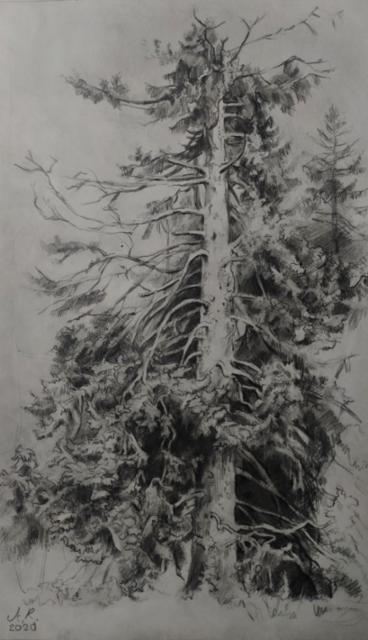 2020, Jäljennös Shishkinin piirroksesta, lyijykynä, Luonnos