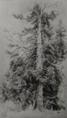 2020, Jäljennös Shishkinin piirroksesta, lyijykynä