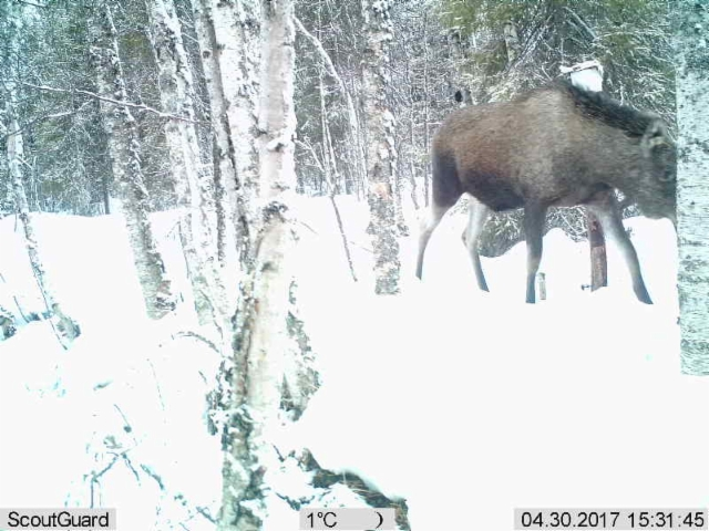 Moose at salt stone