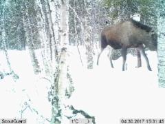 Moose at salt stone