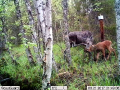 moose_and_baby