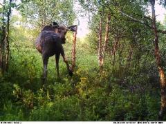 angry_moose_280617