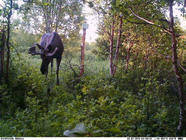 moose_070717