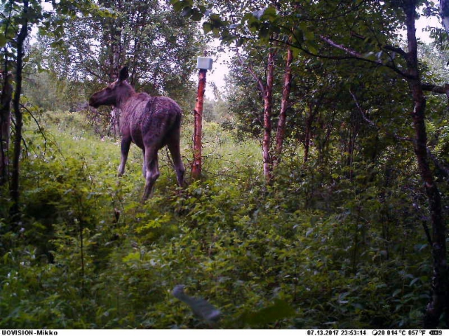 moose_cow140717