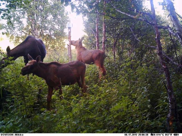 moose_family_170817