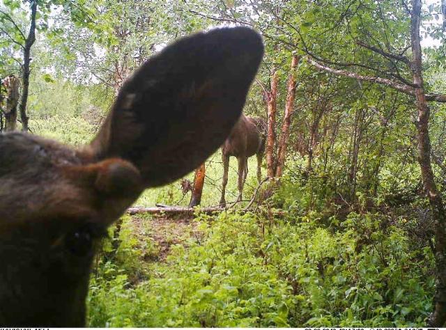 elk ear 230618