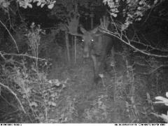 moose_male160819