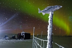 grayling_and_northern_lights