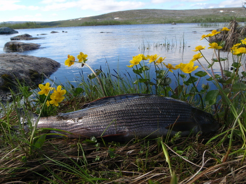 Grayling_fishing_in_Lapland
