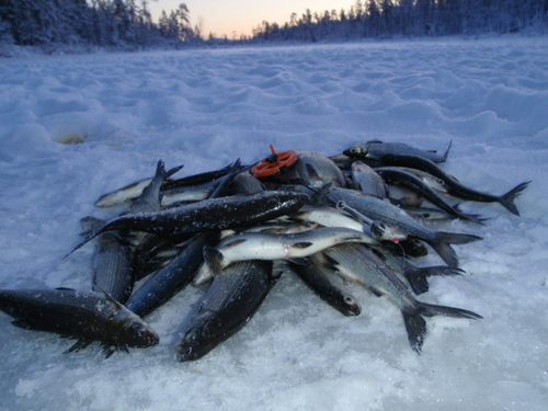 how to catch whitefish ice fishing