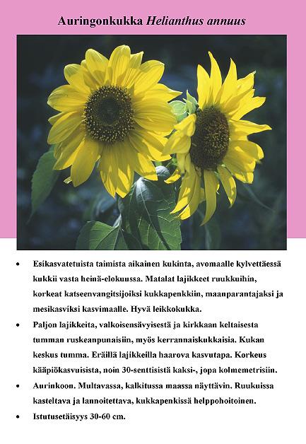 auringonkukka_helianthus_annuus