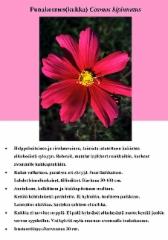 punakosmoskukka_cosmos_bipinnatus