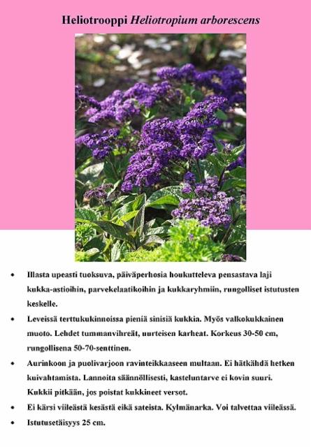 heliotrooppi_heliotropium_arborescens