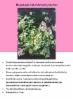 hopeakapala_helichrysum_petiolare