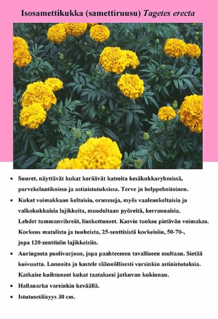 isosamettikukka_samettiruusu_tagetes_erecta