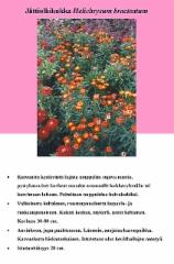jattiolkikukka_helichrysum_bracteatum