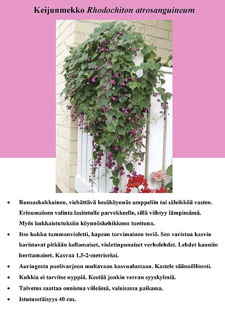 keijunmekko_rhodochiton_atrosanguineum