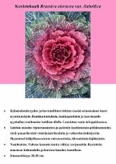 koristekaali_brassica_oleracea_var_sabellica