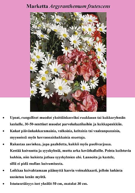 marketta_argyranthemum_frutescens