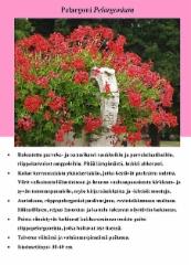 pelargoni_pelargonium