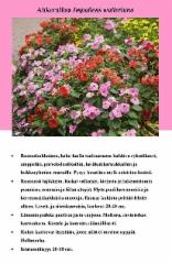 ahkeraliisa_impatiens_walleriana