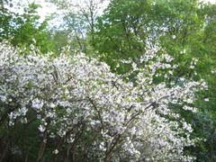 Tulee hyvä kirsikkavuosi 2009.