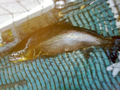 Koneosapalvelu Oy:n Mika Aliranta ja Olli Vuorinen saivat lokakuun lopussa Kivijärvestä uistelemalla komean 5 kg taimenen