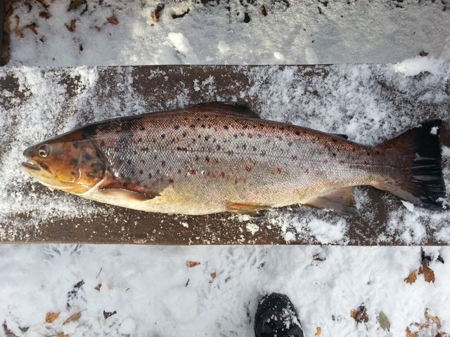 Kivijärven komea taimen 3,5 kg - Koneosapalvelun Alirannat ovat kovia kalamiehiä