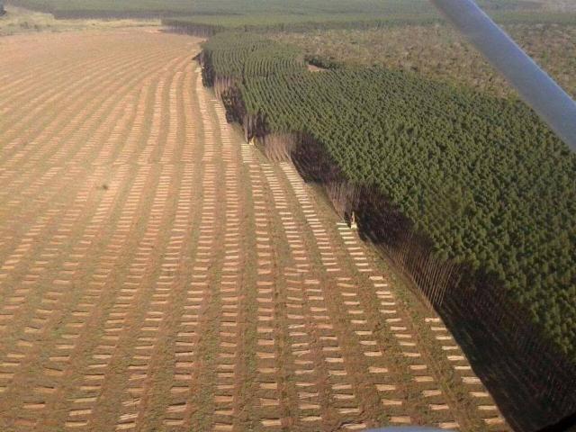 Avohakkuuta Etelä-Amerikan malliin - ja eucalyptus kasvaa takaisin samaan mittaan noin 7 vuodessa