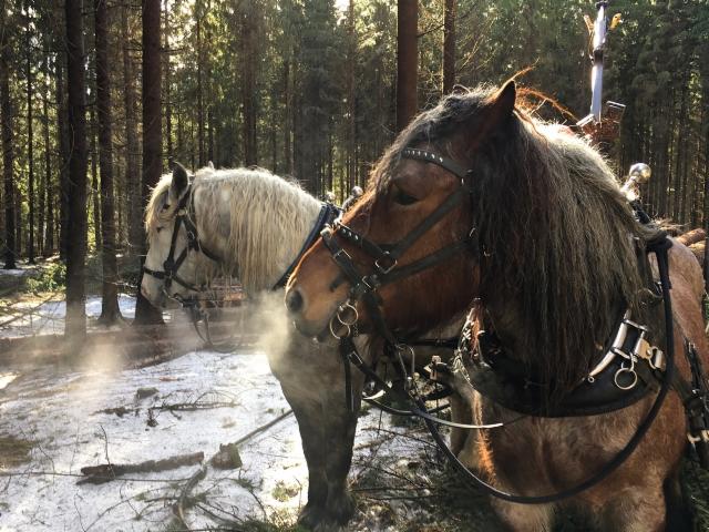 Puistometsäpalvelu Oldenburgin Ponsse Scorpion ja Åfeltin työhevoset samalla työmaalla - tehokasta yhteistyötä