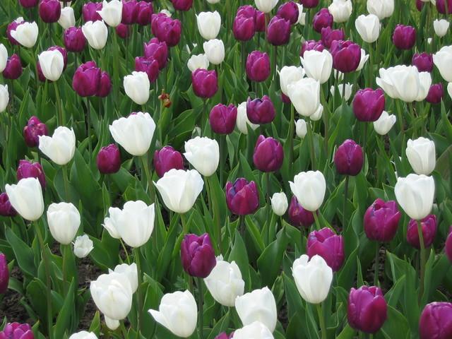 Tulppaanit Arboretumissa 08