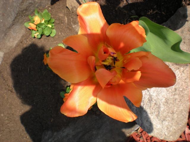 Tulppaanin kanssa kuvassa touko13