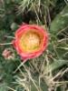 Kesäkuun kukka Kreikan matkalla, kaktus kukkii.