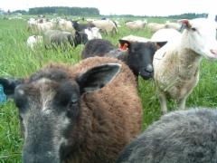 Kotimaista lammasta