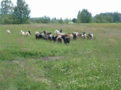Lampaat laiduntaa