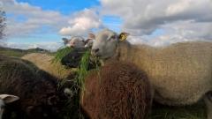 Lampaat nauttivat