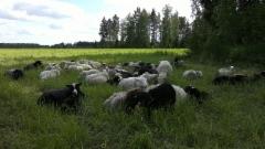 Tyytyväiset lampaat