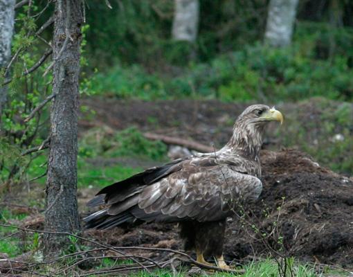 eagle_06