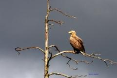 eagle_2_copy
