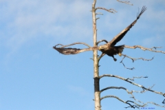 eagle_4_copy