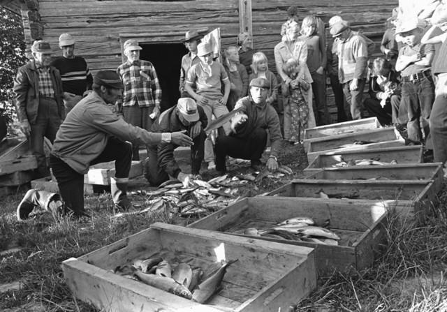 Siianjakoa Kukkolankoskella v. 1973