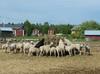 Lammastila Simossa