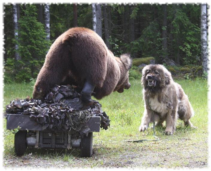 Kaukasian Koira
