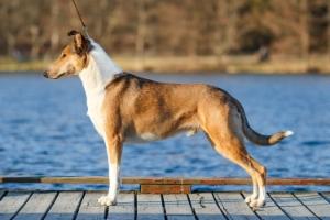 Sileäkarvainen collie, Clingstone's Lap Dog