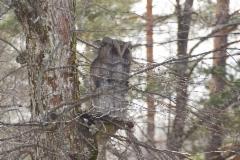 Pöllö vahtina puussa