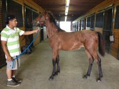 2013 filly Cantab Hall- Baby I'm Bad News 08_13