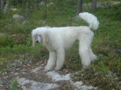Märkä koira uinnin jälkeen 2010 Hilda