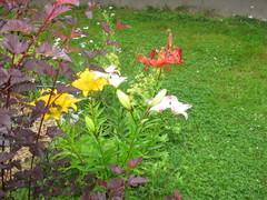 purppuraheisi ja liljat 6/2013