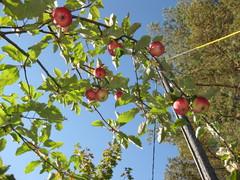 omenat kypsyvät