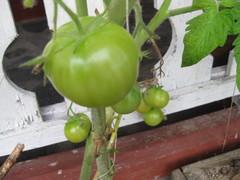 viimeiset tomaatit kypsymässä